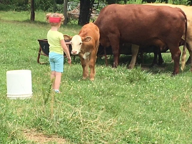 Black Walnut Farm Calf Petting